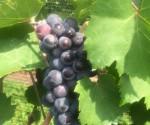 Grapes at 13th Street Winery