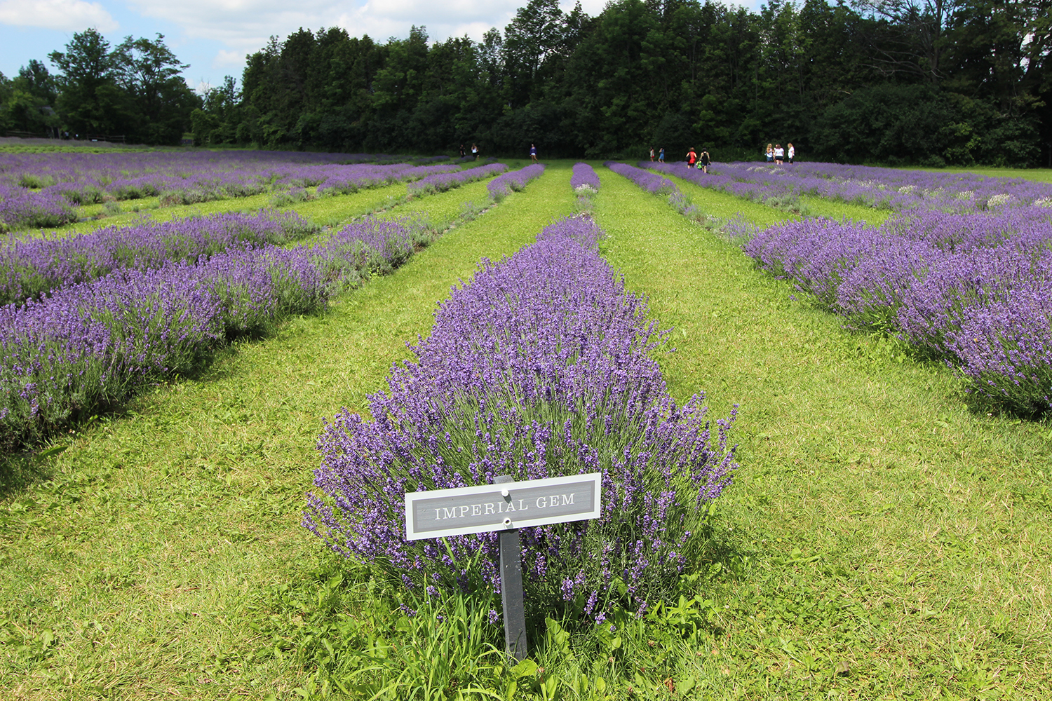 how to grow lavender in ontario