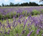 Terre Bleu lavender