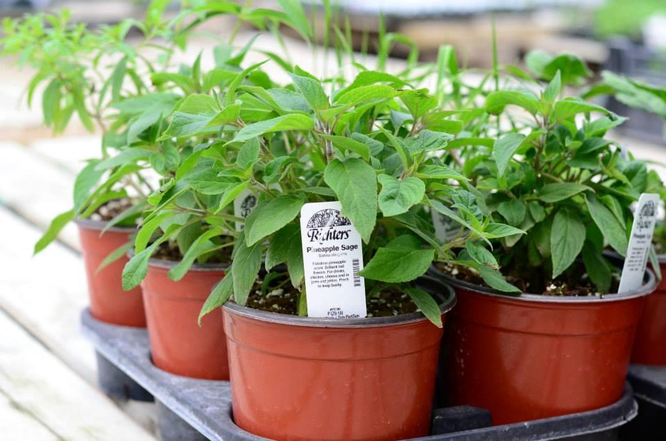 Richters Herbs_Pineapple Sage