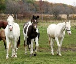 Blazing Colours Farm_young mares